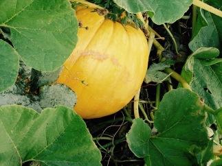pumpkin-under-vine-lo