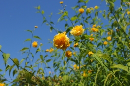 Kerria_japonica_at_Hulda_Klager_Lilac_Gardens