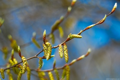 tree-buds