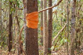 http---www.marriedtoplants.com-wp-content-uploads-2015-03-dipterocarpus-alatus-buddhist-monk-mark